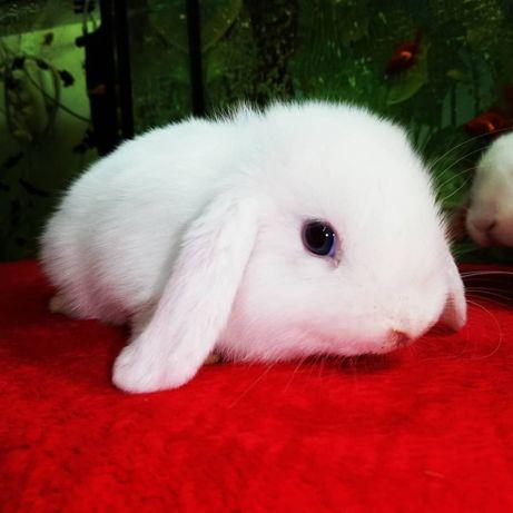 Вислоухий кролик в наличие