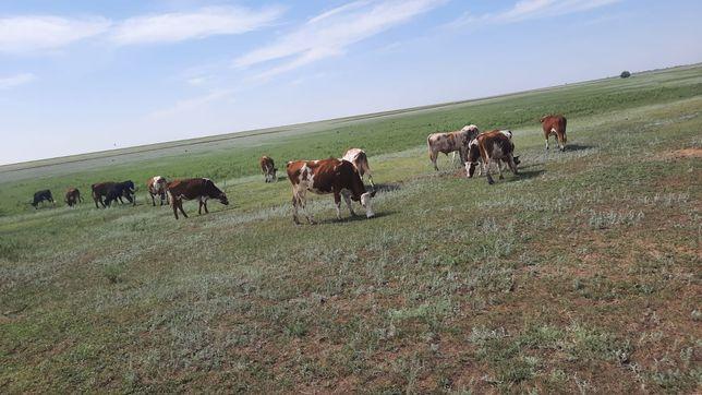 Продам коров молодых