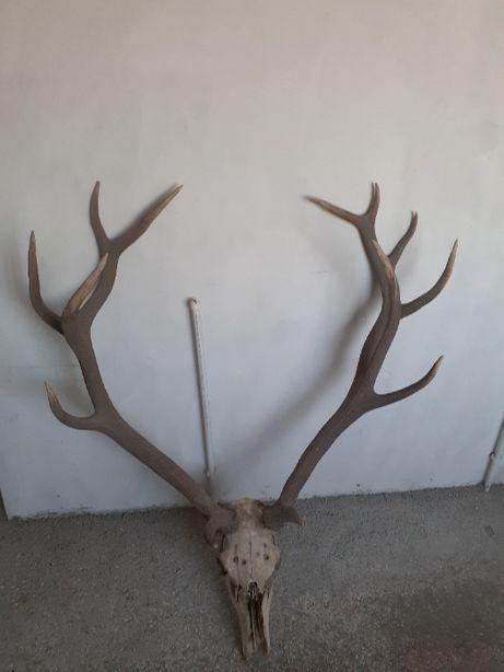 Trofeu Coarne de cerb aproape 10 kg Unicat 16 Tepi ramuri duble in Buc