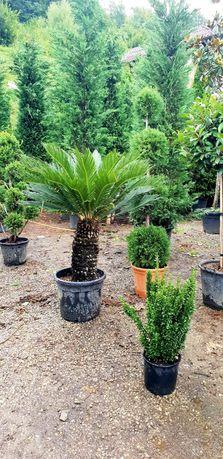Vindem palmieri ce rezistă la îngheț