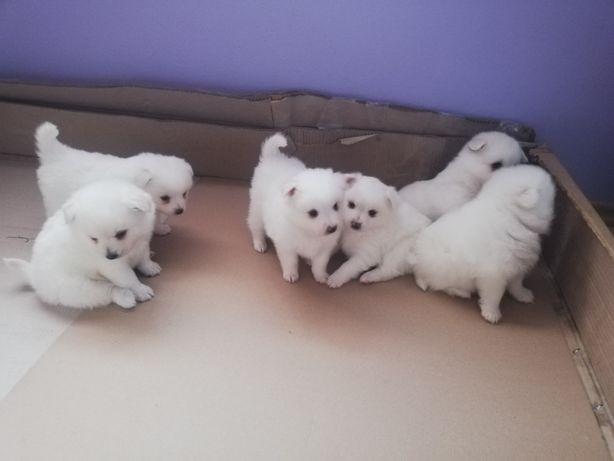 Pomeranian pui albi