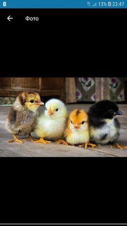Цыплята суточные домашние