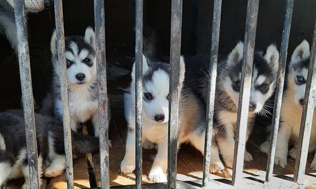 Сибирской хаски щенки