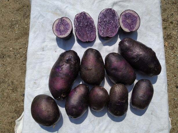 Cartofi mov ( Peruviani )