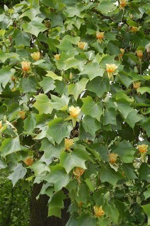 Liriodendron ,tulipan,arbore de lalea