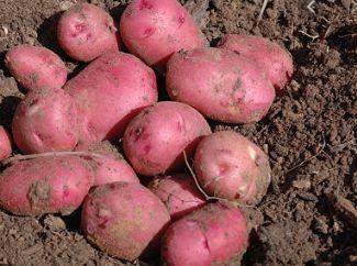Cartofi categoria 1 albi si rosii-Asiguram transport
