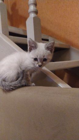 Продам сиамского котика