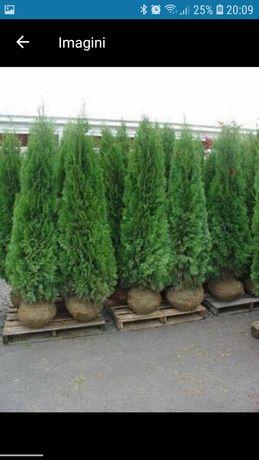 Plante ornamentale pentru o gradina de vis se ofera livrare pt det sun