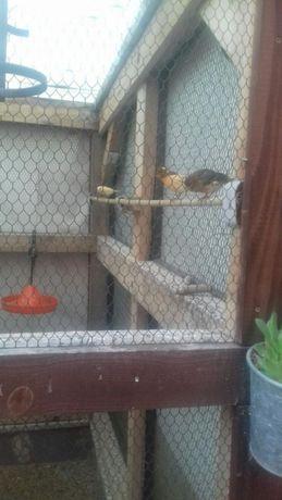 Vind tineret canari