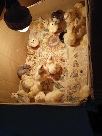 Цыплята брама  двух-трёх дневные