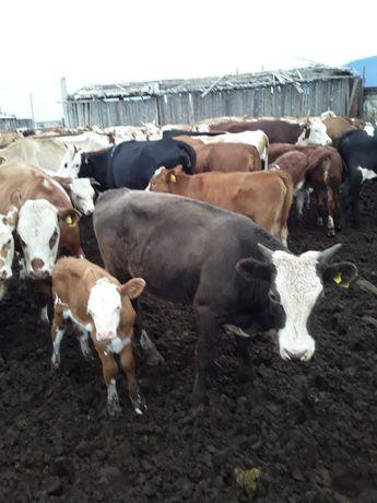 Продам бычков и коров
