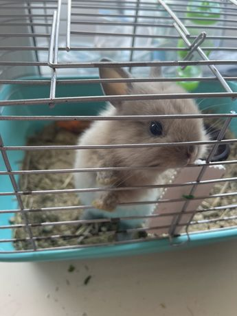 Срочно продам декоративного кролика