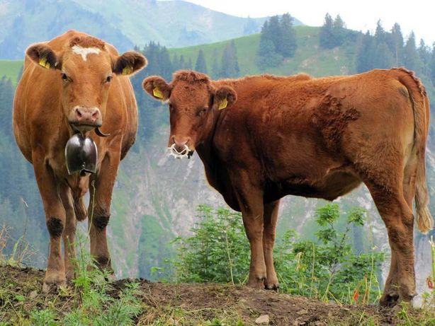 Продам две дойные коровы