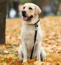 Срочно продоется собака лабрадор. Чистокровная. 1 год. Девочка.