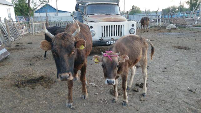 Стельная корова вместе с годавалым теленком