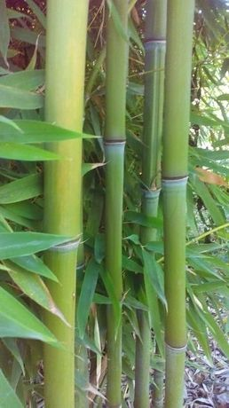 Бамбук / Bambusa aspera