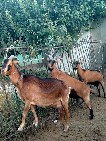 Таза пародалы сауынды чех ешкілер сатылады коза