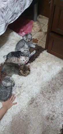 Scottish Fold- вислоухие котятки