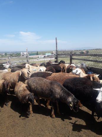 Овечки и овцы. Қозы мен қой