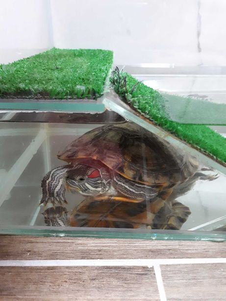 Красноухая черепаха с террариумом