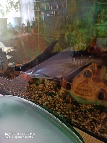 Акулий сом. Пангасиус.