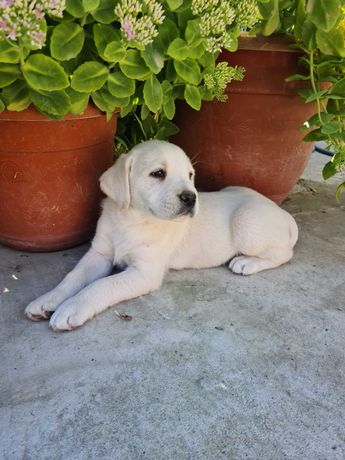 Labrador băiețel de 7 săptămâni