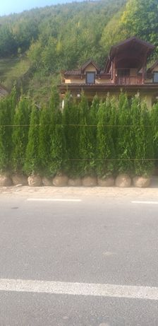 Conifere ieftine sunați preț  mic la cantitate