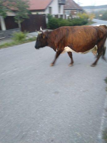 Vând vaca    gestantă