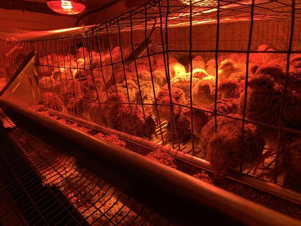 Prepelite de la o zi la 7 zile / oua / carne