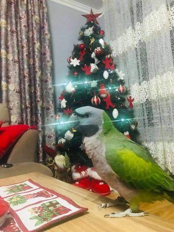 Papagal Marele Alexandru Chinezesc