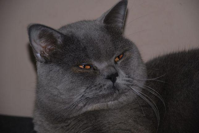 Mascul Brithish Shorthair Blue