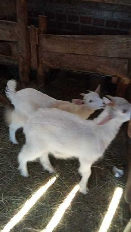 дойную козу с козлятами
