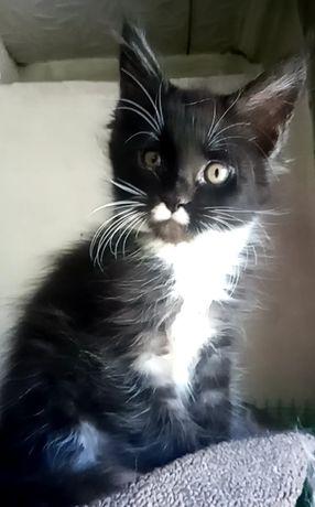 Рассрочка.Котята Мейн Кун