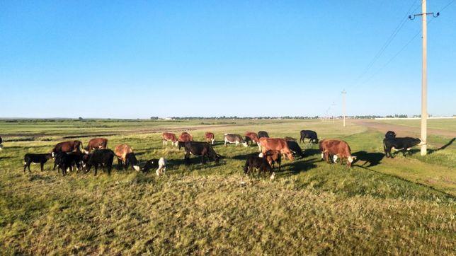 Продам коров с телятами подсосными, коров жирных, телки, бычок годовал