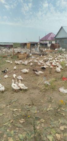 Продаются утки