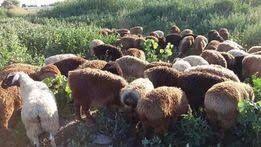 Продам жирных баранов в Учхозе от 45000