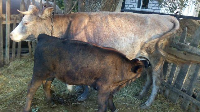 Продам корову с бычком