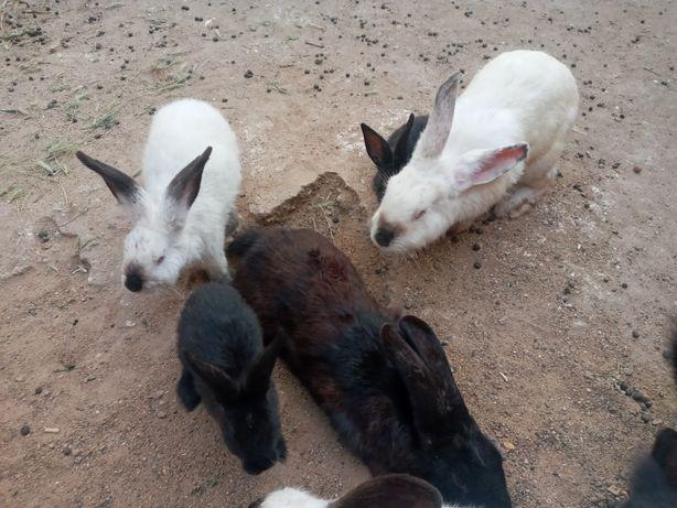 Кролики Калифорния,Великан