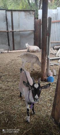 Молочные альпиский коза