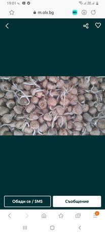 Луковички шафран