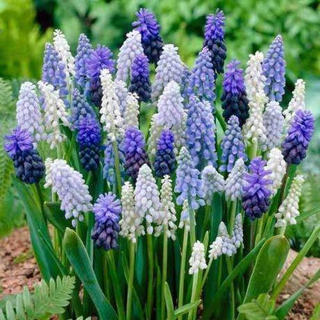 Bulbi Muscari - flori parfumate