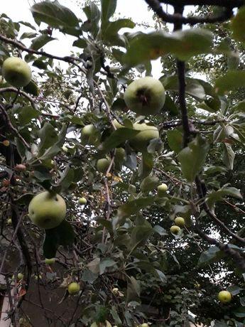 """Саженцы сливы """"чернослив"""", """"белая слива"""", черной малины, яблони"""
