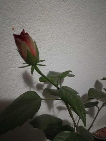 trandafiras pui superb la numai 46 lei