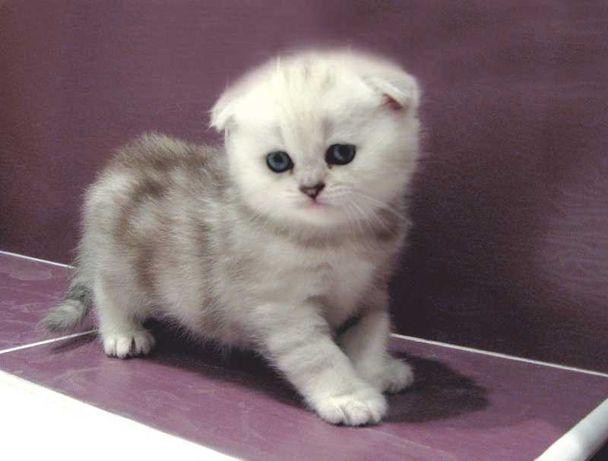 Шотландские котята молоко и мрамор