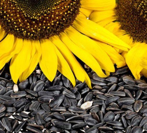 Vând floarea soarelui