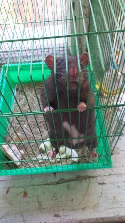 Крыса домашняя декоротивная
