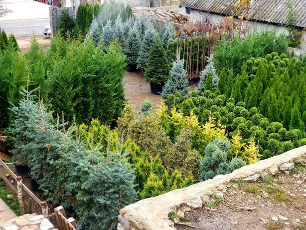 Plante ornamentale BLACK FRIDAY 40%  tuia, copaci, brazi, magnolia.