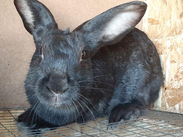 Продам кролика  5тыс