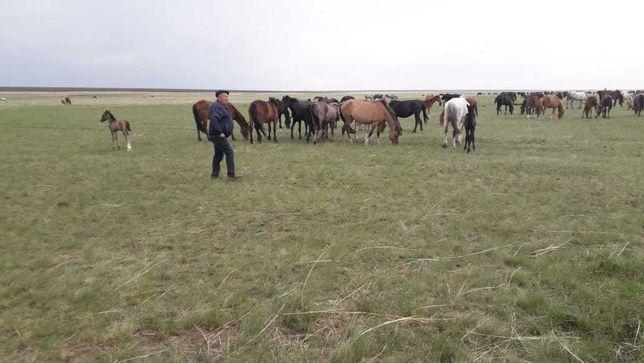 Лошади живые жирные