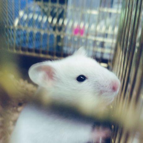 Белые сирийские хомячки